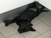 Bürohund Pedro als Welpe liegt verdreht auf dem Boden