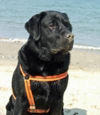 Bürohund Pedro mit Sand auf der Schnauze sitzt am Strand von Cesenatico