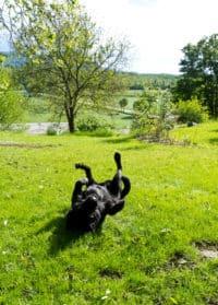 Bürohund Pedro im Garten wälzt sich auf dem Rücken