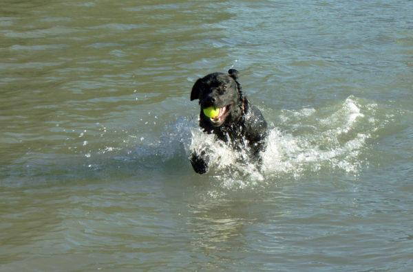 Bürohund Pedro läuft in der flachen Donau mit einem Tennisball im Maul