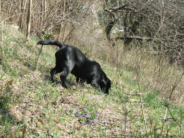 Bürohund Pedro schnüffelt im Garten