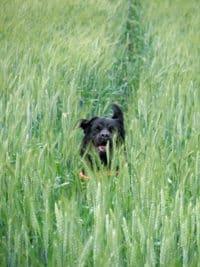 Bürohund Pedro läuft durch ein Getreidefeld