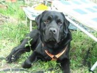 Bürohund Pedro liegt neben einer Sonnenliege im Gras und schaut hungrig in die Kamera