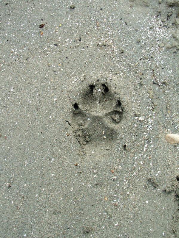 Pfotenabdruck von Bürohund Pedro im Sand