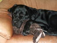 Bürohund Pedro kuschelt auf dem Sofa mit einem Stoffteddybär