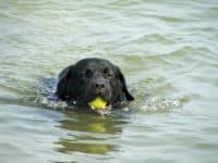 Bürohund Pedro schwimmt in der Donau mit einem Ball im Maul
