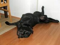 Bürohund Pedro liegt verdreht auf dem Boden und schläft