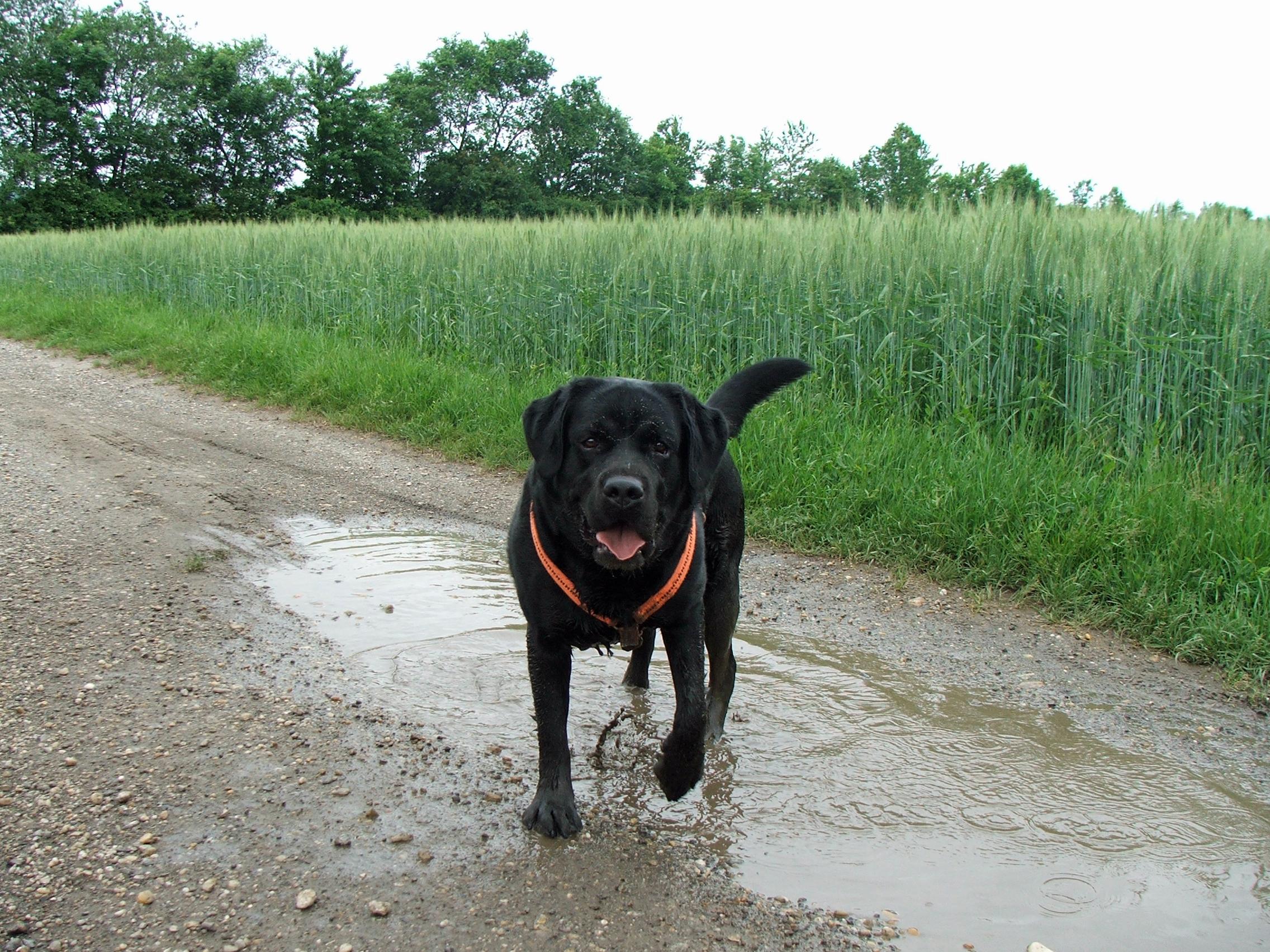 Bürohund Pedro läuft durch eine Pfütze auf dem Weg vor einem Getreidefeld