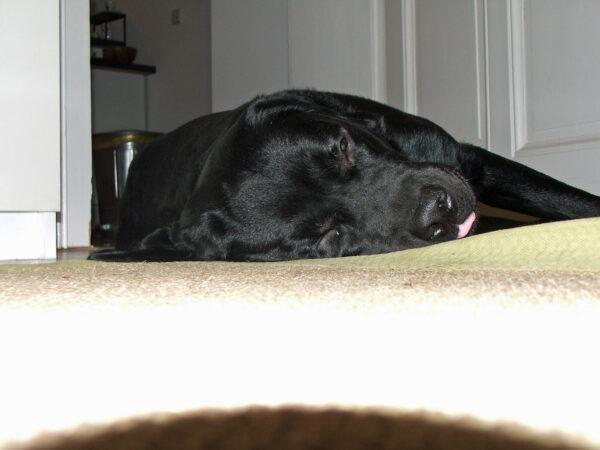 Bürohund Pedro liegt auf dem Boden und schläft