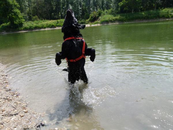 Bürohund Pedro springt im Wasser hoch