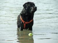 Bürohund Pedro im seichten Wasser an der Donau