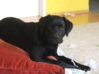 Bürohund Pedro als junger Hund erwischt beim Zerstören von Papier