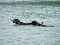 Bürohund Pedro apportiert mit einem anderen Labrador einen großen Ast aus der Donau