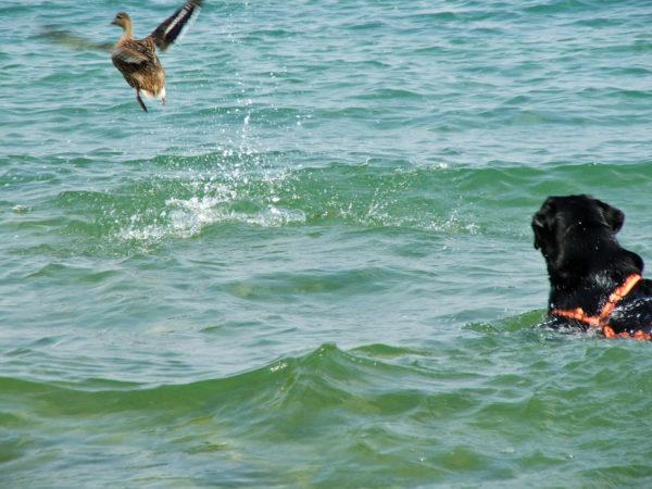 Bürohund Pedro steht in der Donau und sieht einer davonfliegenden Ente nach