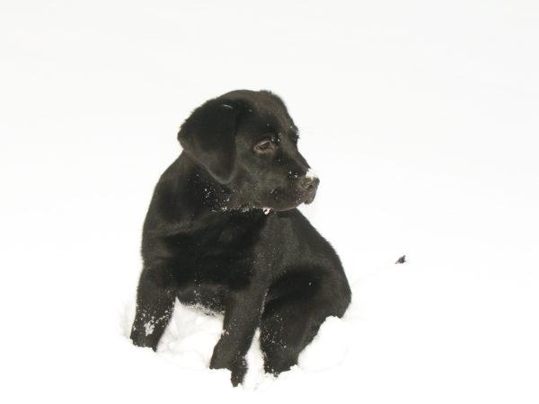 Bürohund Pedro sitzt als Welpe im Tiefschnee